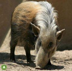 Buschschwein-Potamochoerus-larvatus.jpg
