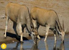 Elanantilope-Taurotragus-oryx.jpg