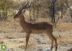 Impala-Schwarzfersenantilope-Aepyceros-melampus.jpg
