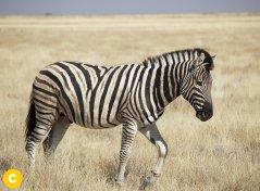 Zebra-Equus-Burchellii.jpg