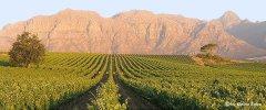 Kap Weinland - Gepflegte Weingärten vor der dramatischen Kulisse der Hottentots-Holland Berge