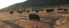 Kleine Karoo - Afrikanische Strauße in der Kleinen Karroo waren und sind noch heute ein großer Bestandteil des täglichen Lebens